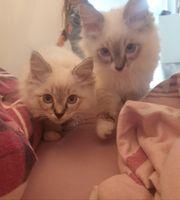Reinrassige Ragdoll Kitten dürfen ausziehen