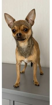 Chihuahua DECKRÜDE mit Erfahrung
