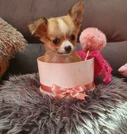 Chihuahua sehr klein