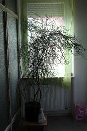 Bleistift Kaktus - Bleistiftpflanze euphorbia tirucalli