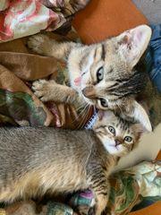 Kätzchen im Wildkatzenlook
