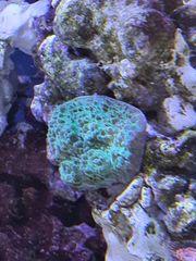 Chalice Green Lemonade Koralle Meerwasser
