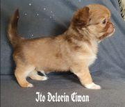 typvoller Chihuahua Welpe in Schoko