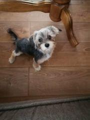 Mini malteser Yorkshire Terrier Morki