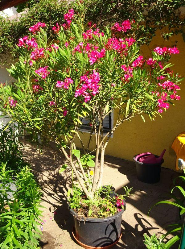 rote rosa und zartgelbe Oleander
