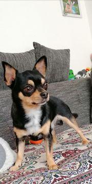 Deckrüde Chihuahua Reinrassig