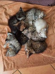 Mischlingskätzchen Kätzchen reinrassiger Eltern Bengal-Mix