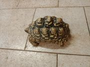 Panther Schildkröten Weibchen