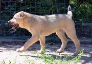 Alabai Welpe 6 Monate alt