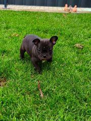 Französische Bulldogge mit Jackbull