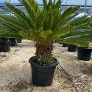 Palme Cycas Revoluta Palmfarn verschiedene