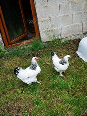 Bruteier von großen Sundheimer Hühnern