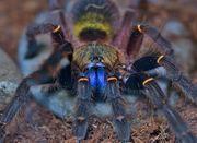 Vogelspinnen abzugeben sling bis adult