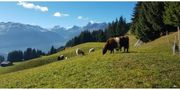 Galloway Kalbinen Färsen weibl Rinder