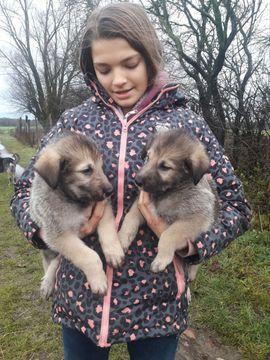 Irischer Wolfshund Irish Wolfhound zu: Kleinanzeigen aus Karbow-Vietlübbe Vietlübbe - Rubrik Hunde