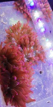 Kupferanemonen Korallen Meerwasser