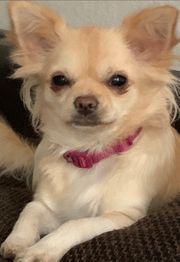 schlüpf Tag bei den Chihuahuas