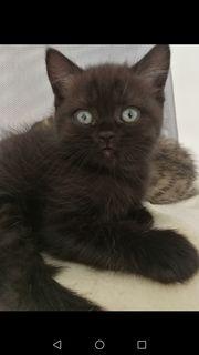 BKH Kitten Black Tabby
