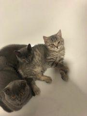 Bkh Kätzchen suchen neues Zuhause