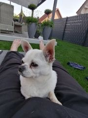 Liebevolle Chihuahua Hündin