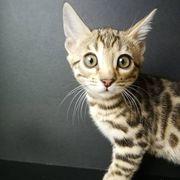 Entzückende Bengal-Kätzchen zur Adoption