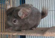 Chinchilla Weibchen 3 5 Jahre
