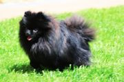 Zwergspitz Pomeranian Boo Deckrüde NICHT