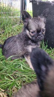2 Chihuahua welpen Rüden suchen