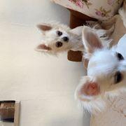 zwei Chihuahua Weibchen abzugeben