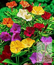 Wunderblume Mix 15 frische Samen