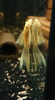 Wels L 144 long fins