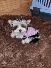 Mini xxs Biewer Yorkshire Terrier