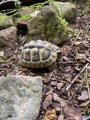 2017 - griechische Landschildkröten