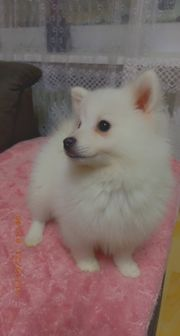 Pomeranian Boo Weibchen
