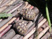 Griechische Landschildkröten NZ 2018