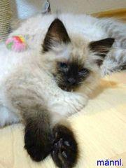 Wunderschöne Ragdoll Neva Kitten - mit