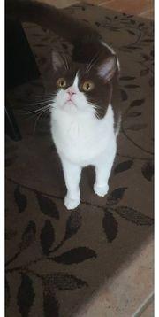 BKH Katze 1 Jahr alt