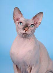 Reinrassige Sphynx Katze