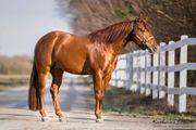 Quarter Horse Deckhengst - TG Samen