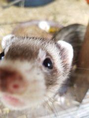 Frettchen Fähe 1 Jahr alt