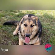 Raya Fröhliche aktive Schäferhund-Mix-Dame sucht