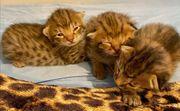 Savannah F2 Kitten - geboren 7
