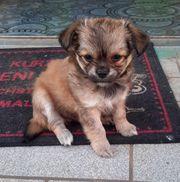 1 süße Chihuahua Welpen abzugeben
