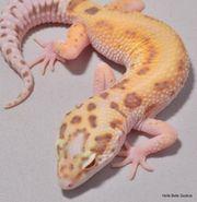 Leopardgecko Radar Weibchen ID18RZ3