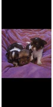 3 Chihuahua LH Welpen mit