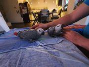 Graupapagei Henne Baby geschlüpft Februar