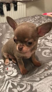 Beutifull Chihuahua Welpen für Rehoming