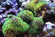 Briareum grün Koralle mit Stein