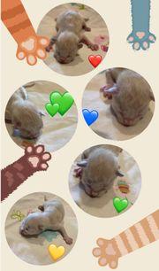 5 süße Birmchen - Birma Kitten