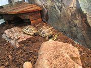 Griechische Landschildkröten NZ2019